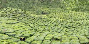 Cameron highlands tea