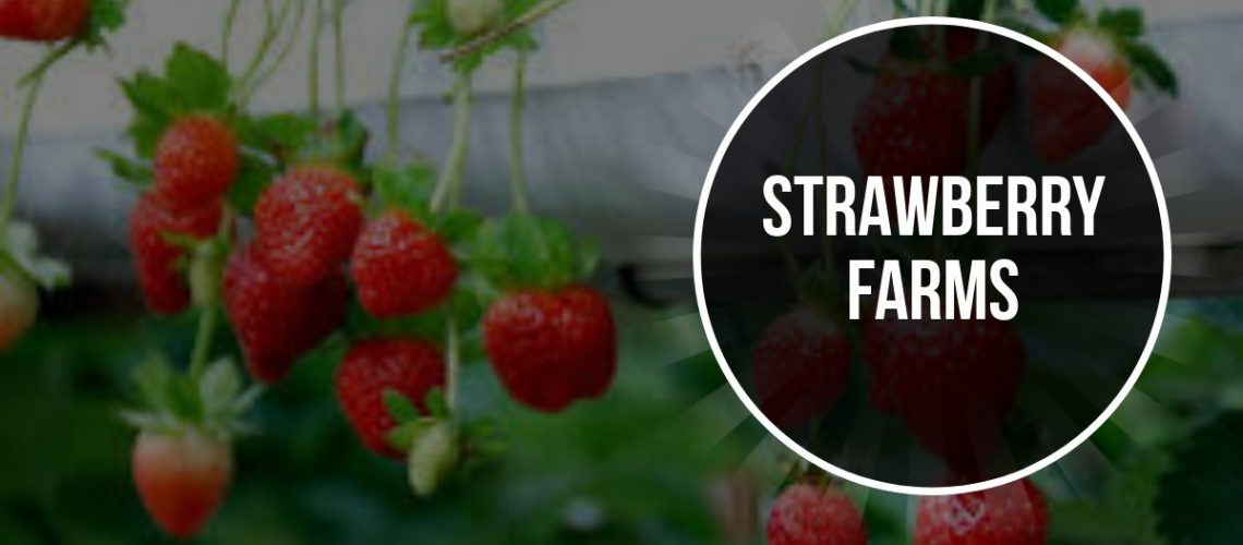 Strawberry Farms